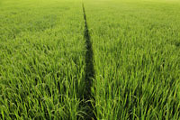 Small path going through a rice paddy - Alex Mares-Manton