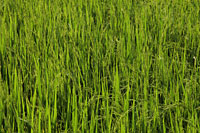 Closeup of rice paddy - Alex Mares-Manton