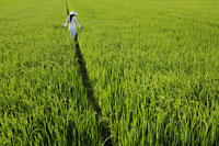 Rear view of woman wearing Vietnamese traditional outfit walking through a rice paddy - Alex Mares-Manton