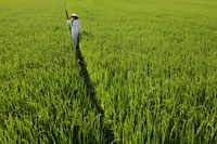 Woman wearing traditional Vietnamese outfit walking through a rice paddy - Alex Mares-Manton