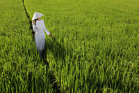 Woman wearing traditional Vietnamese outfit standing in a rice paddy - Alex Mares-Manton
