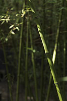 Green bamboo forest, Beijing, China - Alex Mares-Manton