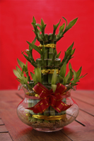 Still life of bamboo plant, symbolic for good luck - Asia Images Group