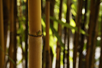 brown bamboo shoot in foreground - Asia Images Group