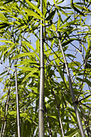 bamboo stalk with green leaves - Asia Images Group