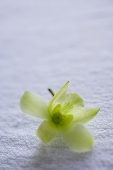 Still life of Orchid flower - Asia Images Group