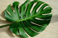 Leaf on a Tatami mat - Asia Images Group