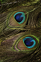 close up of two peacock feathers. - Asia Images Group