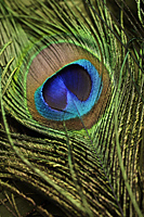Close up of peacock feather - Asia Images Group
