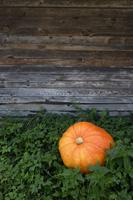 Pumpkin lying in pumpkin patch - Alex Mares-Manton